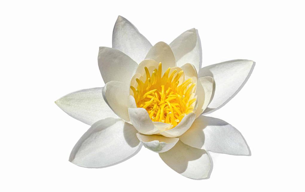 White Waterlily, Water Rose or Nenuphar, Nymphaea alba, flower, green lotus hemp, cbd, salve